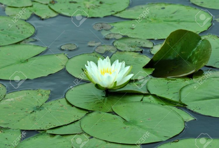 10516757-a-lily-pad-floating-in-a-pond-